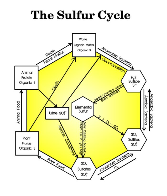 diagram of the sulfur cycle apes review for final exam